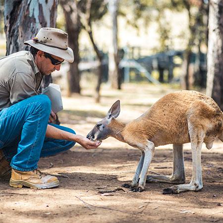 Human feeding small kangaroo or wallaby